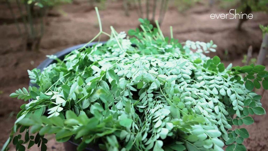 tanaman manfaat ekstrak daun kelor evershine